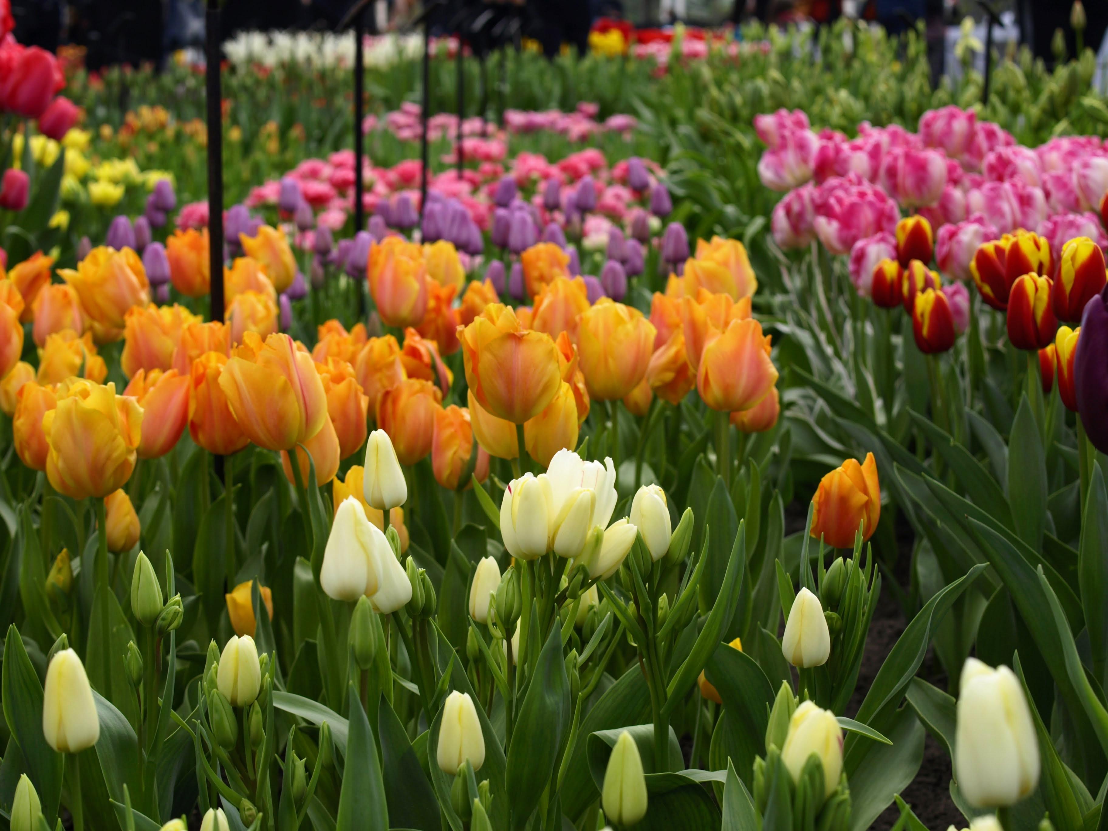 Skleník s tulipány, Keukenhof