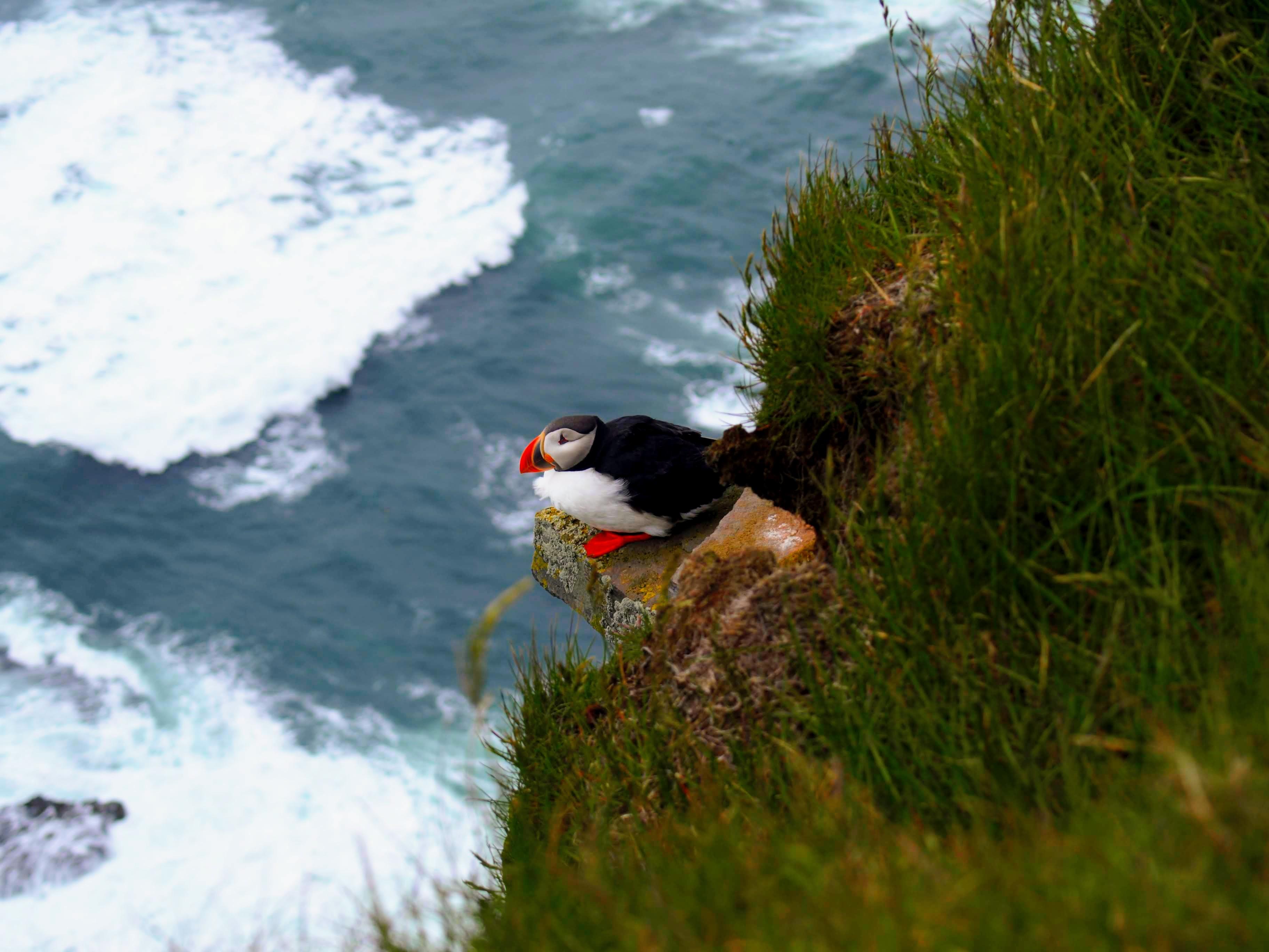 Papuchalk na útesu Latrabjarg