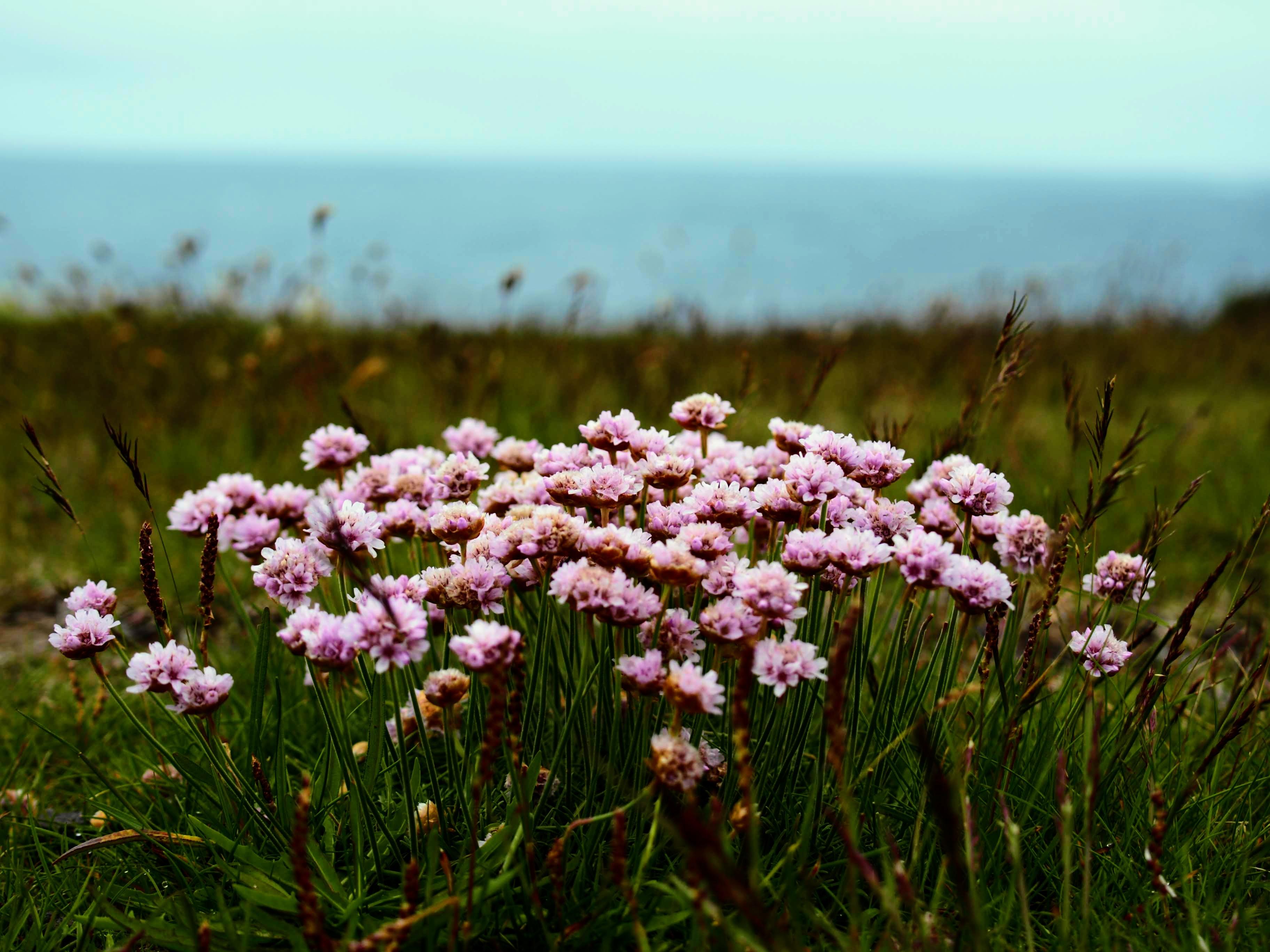 Kvetoucí louka, Arnarstapi