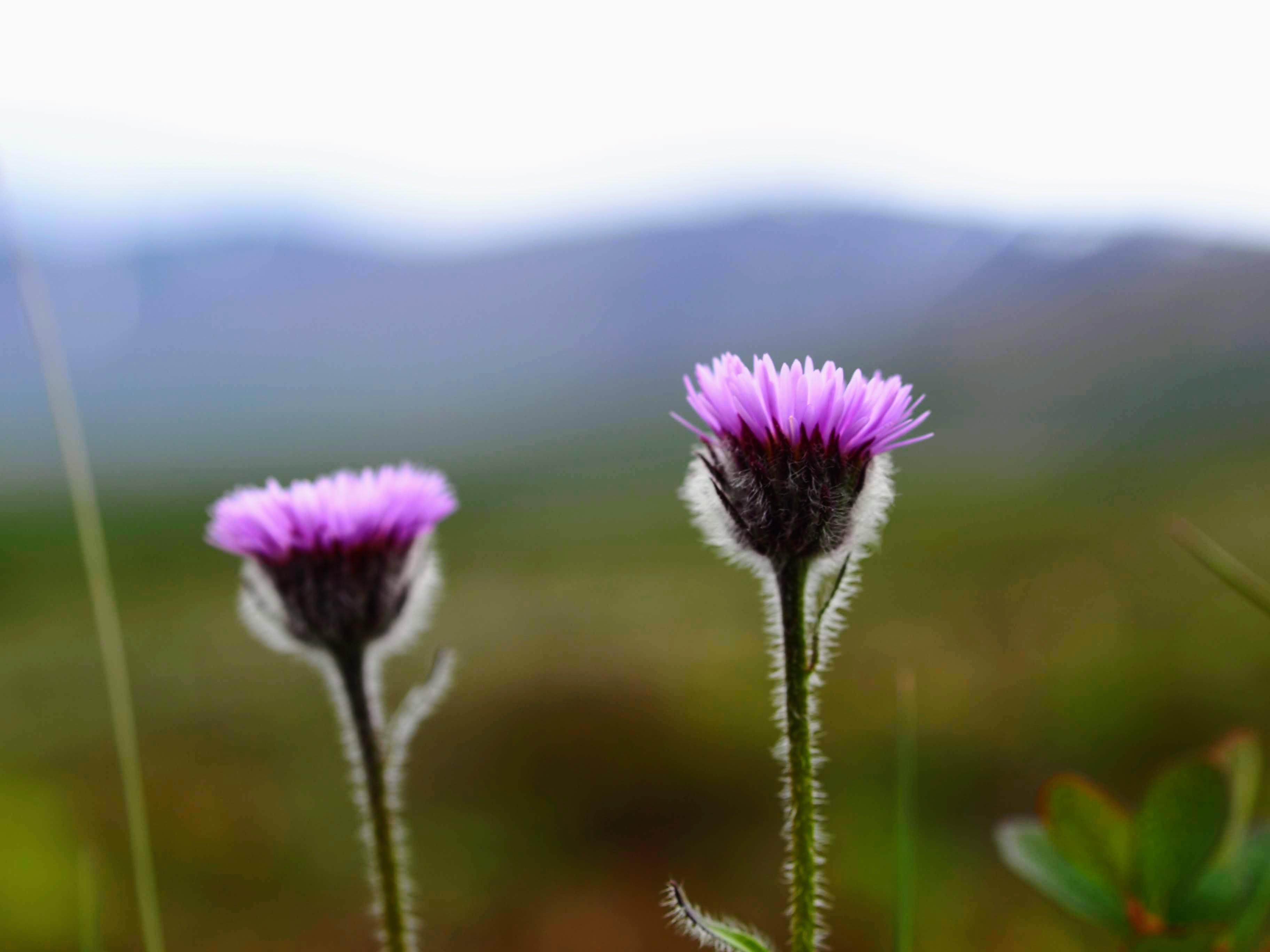 V červenci je Island plný květů