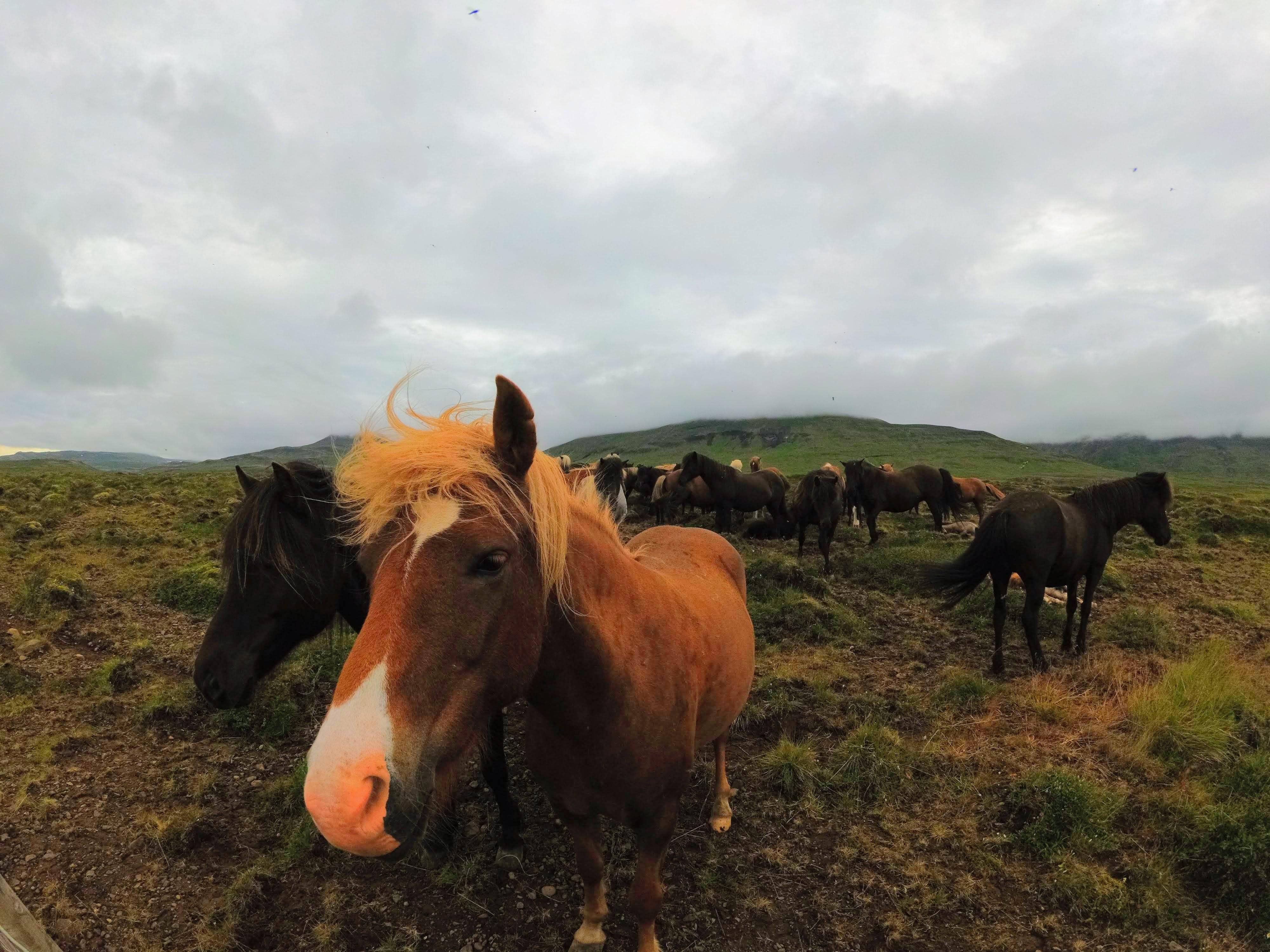 Malí islandští koníci