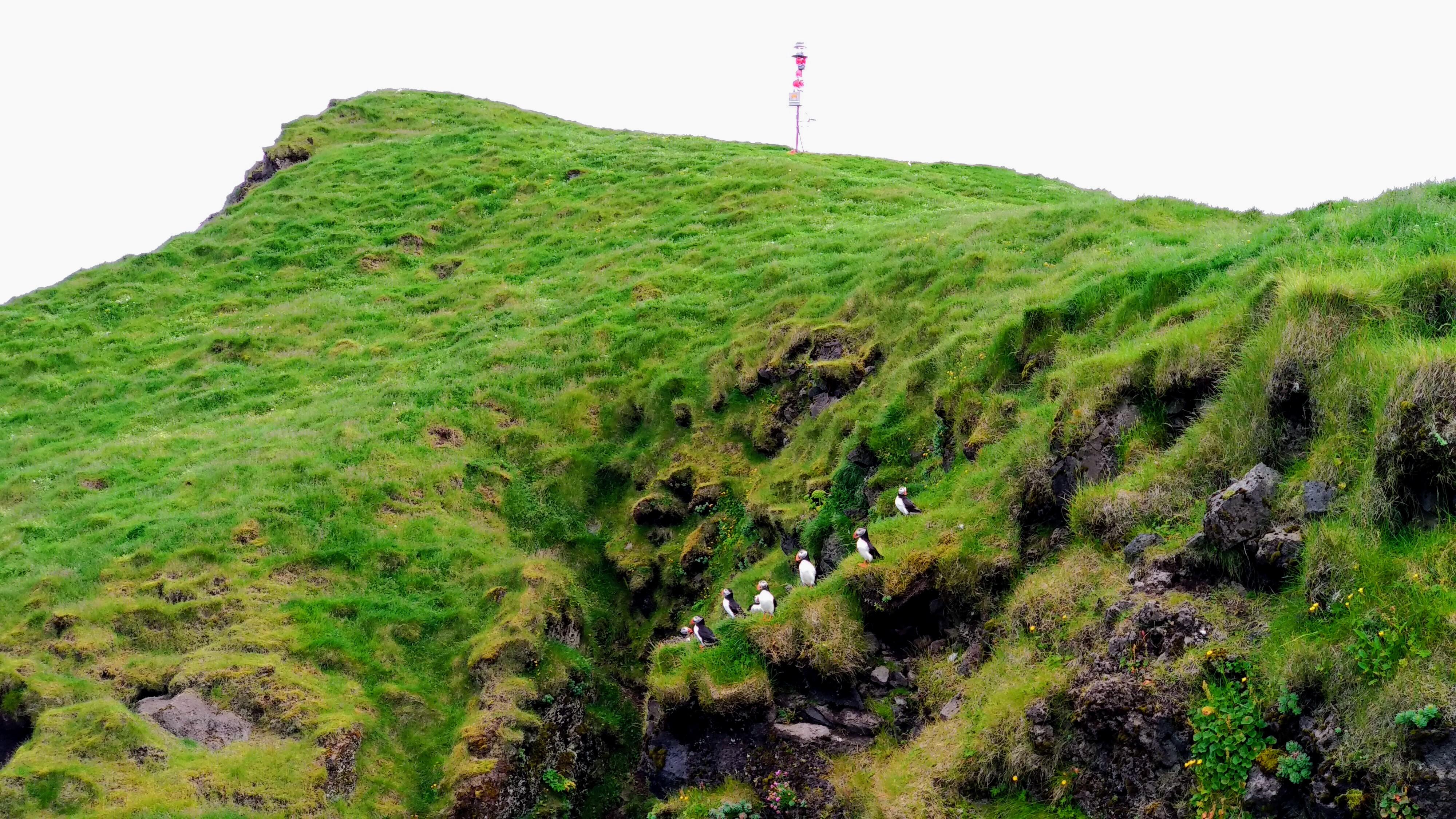 Papuchalci, ostrov Heimaey