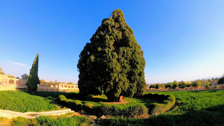 Více než 4000 let starý cypřiš, Abarkooh
