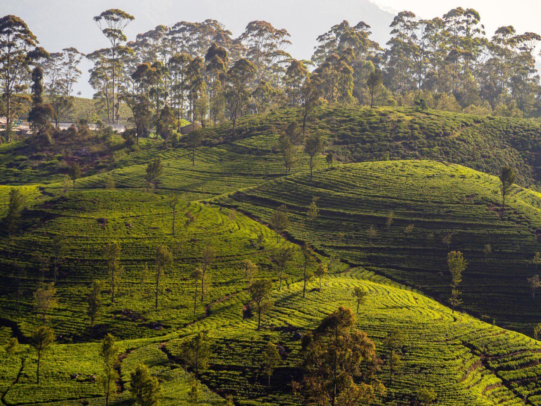 Srí Lanka – Haputale, čaj kam až oko dohlédne (6)