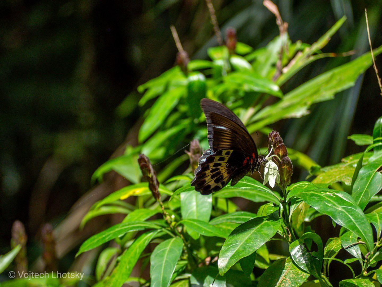 Motýl Papilio polytes v pralese Sinharaja