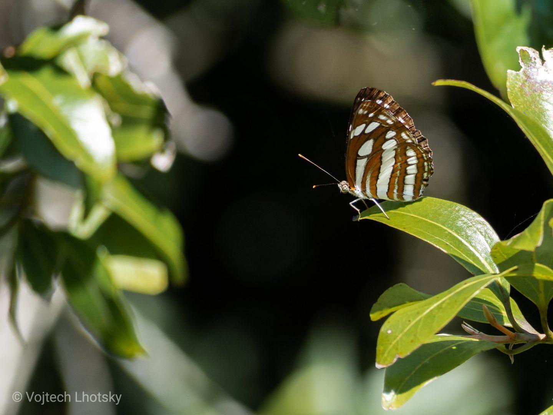 Motýl v lese u Haputale