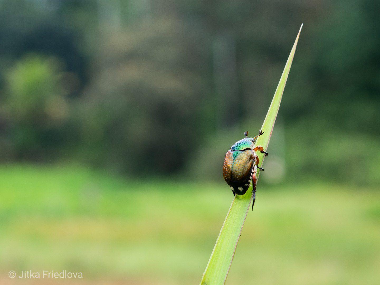 Malý brouček na listu, Sinharaja