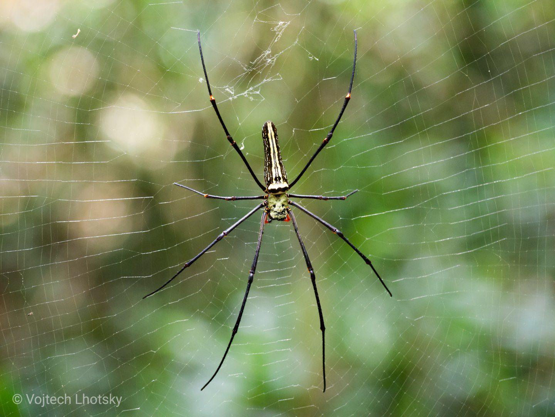 Pavouk nefila, Sinharaja