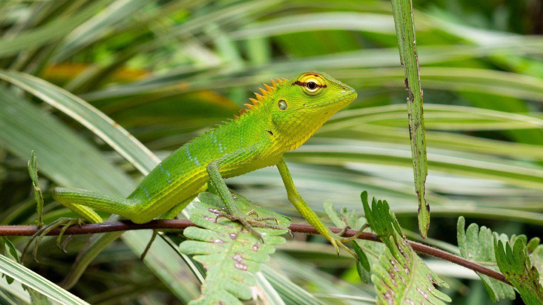 Ještěr v pralese Sinharaja
