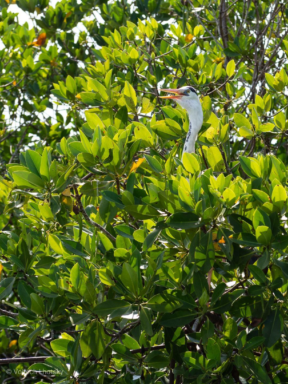 Ptačí hlava vykukuje z mangrovů
