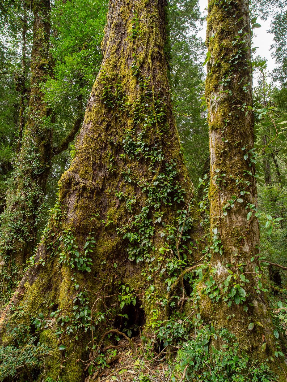 Obrovské stromy v národním parku Huerquehue