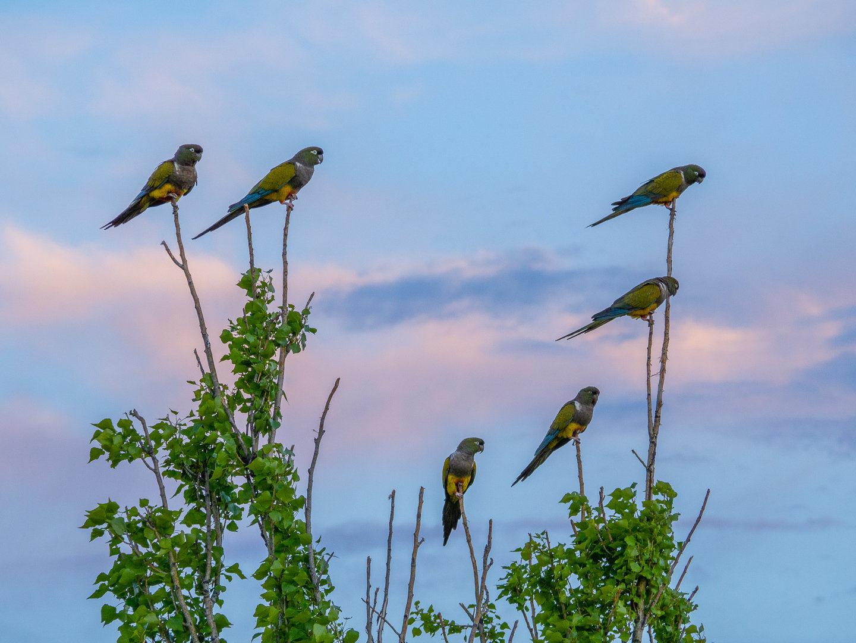 Papoušci patagonští