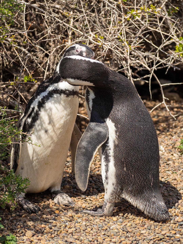 Pár tučňáků magellanských