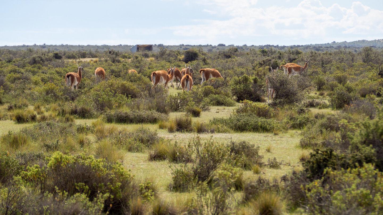 Na poloostrově Valdés žije spoustu lam guanaco