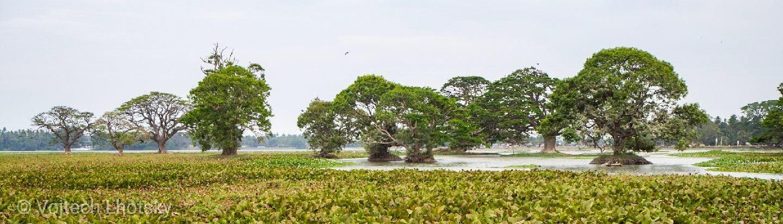 Stromy s obrovskými korunami v mokřině nedaleko národního parku Yala