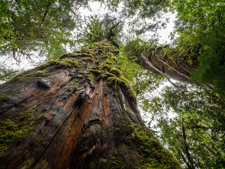 Prastaré a obrovské stromy druhu Fitzroya cypřišovitá, NP Pumalín