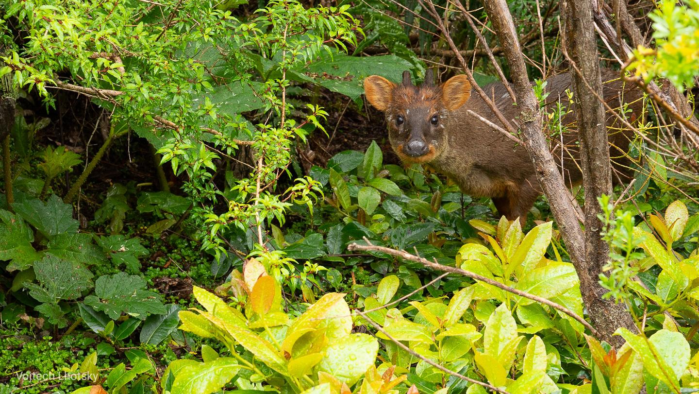 Pudu, nejmenší jelen na světě, NP Pumalín