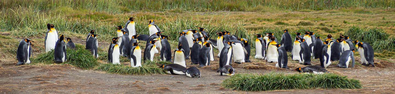 Tučňáci patagonští (královští)
