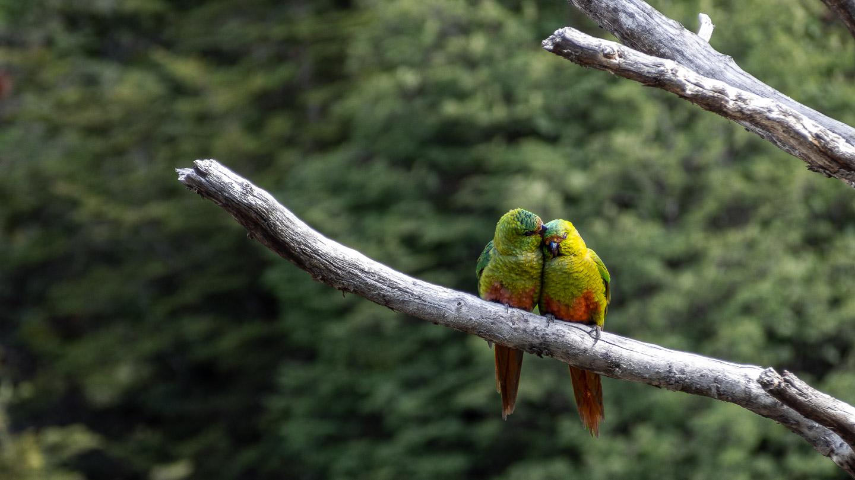 Patagonští papoušci