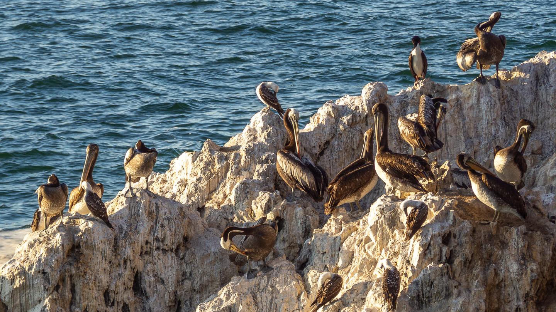 Pelikáni a další ptáci na malém ostrůvku