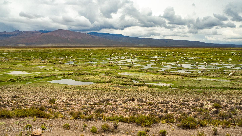 Alpaky si vychutnávají čerstvou trávu na náhorní plošině