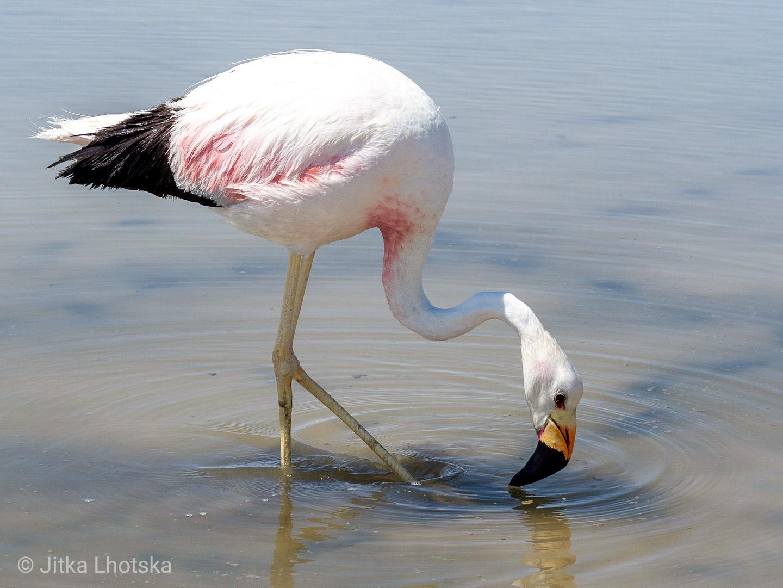 Plameňák ve slané laguně