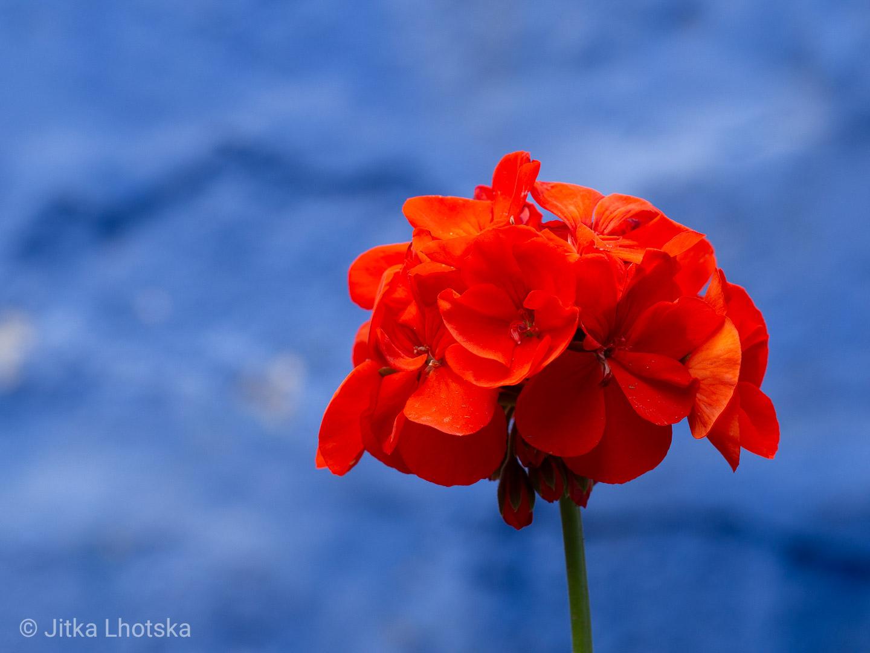 Kontrast květu oproti modré zdi