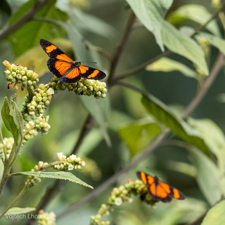 Motýli v mlžném lese