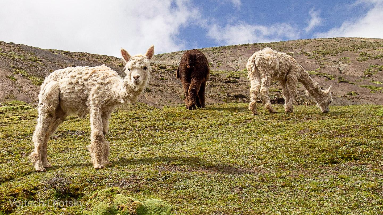 Alpaky ve vysokých horách