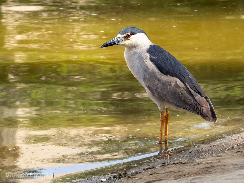 Ptactvo v oáze Huacachina je zvyklé na lidi