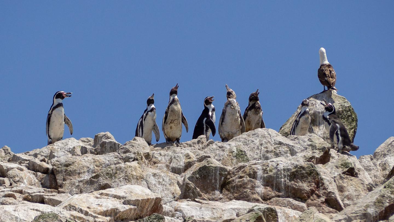 Tučňáci, Islas Ballestas