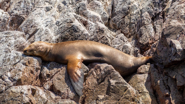 Lachtan odpočívá na skalnatém ostrůvku, Islas Ballestas
