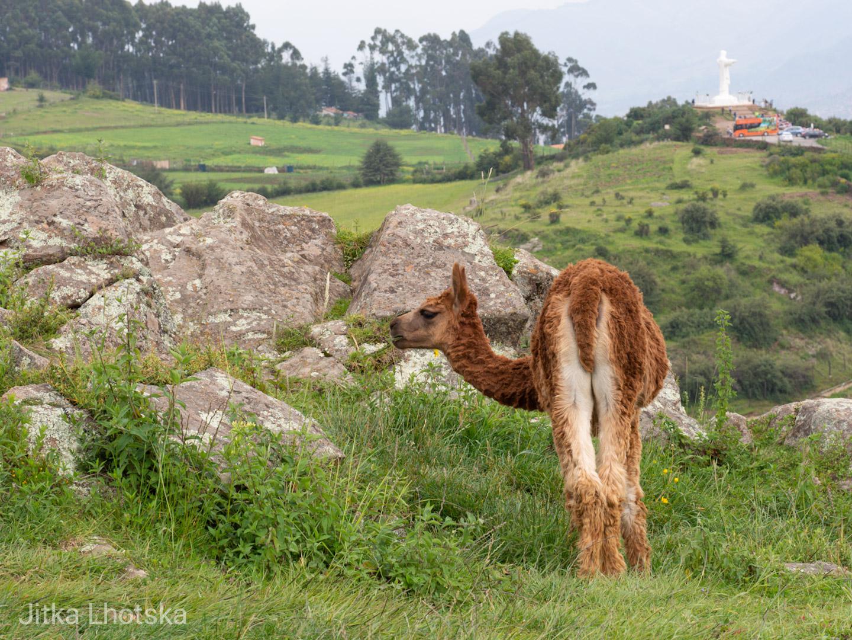 U pevnosti Sacsayhuamán se pasou stáda lam a alpak