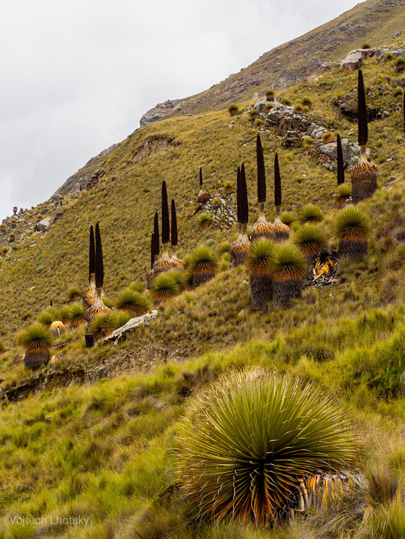 Vysokohorská rostlina Puya raimondii dosahuje výšky i přes deset metrů