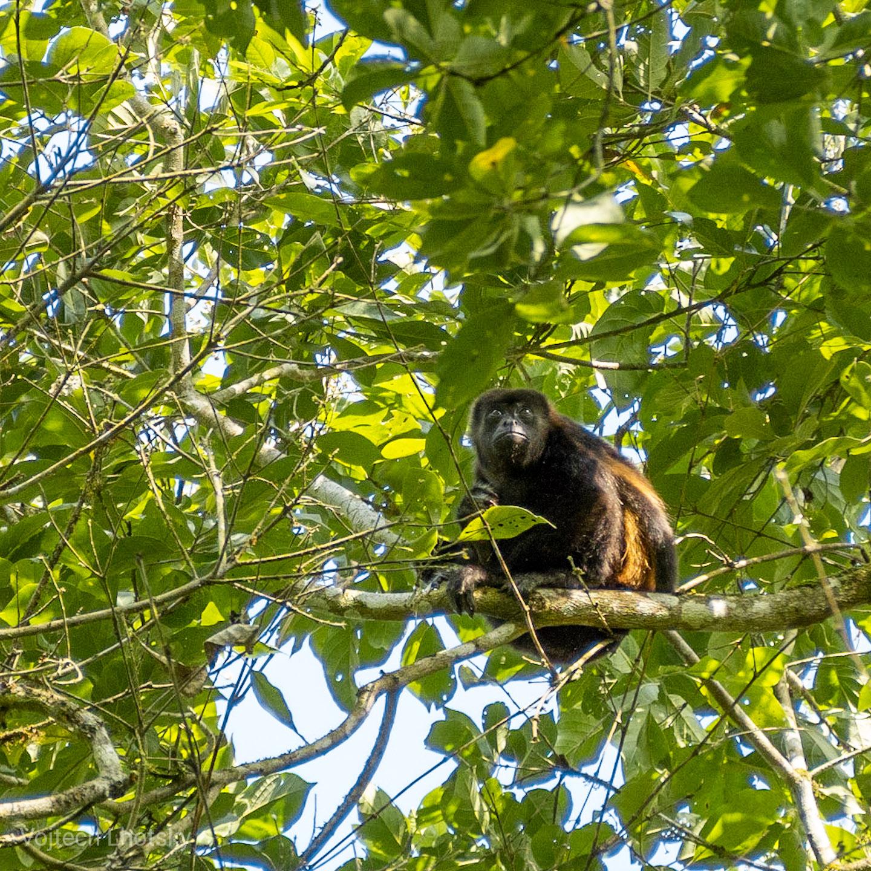 Opice nás pozoruje z koruny stromu
