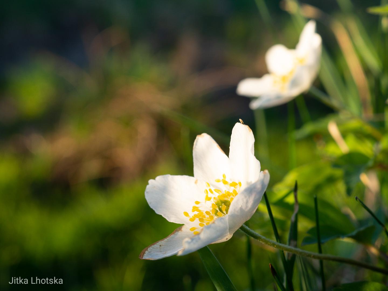 Květy schované v trávě