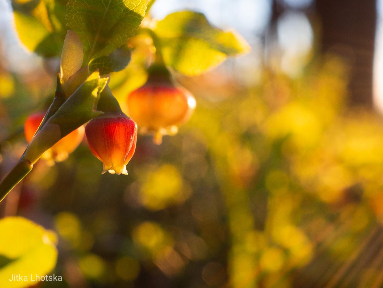 Kvetoucí borůvky