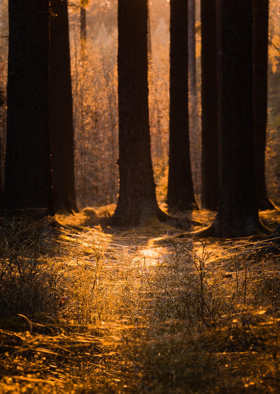 Pavučiny se lesknou při západu slunce, Třeboňsko