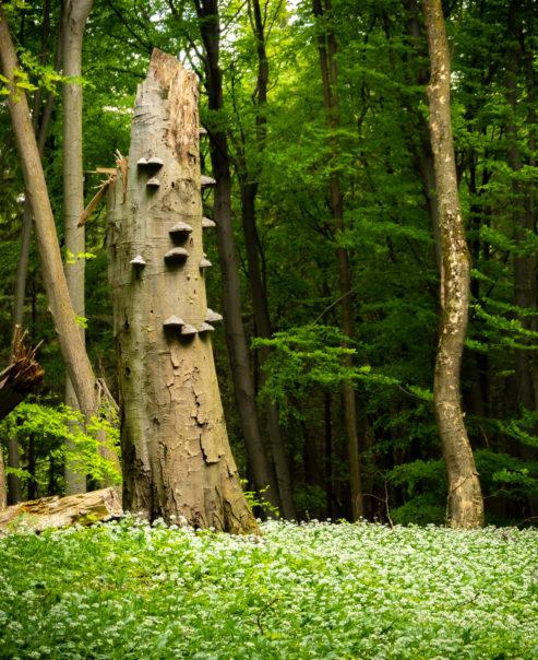 Koberec z rozkvetlého medvědího česneku, přírodní památka Uvezené